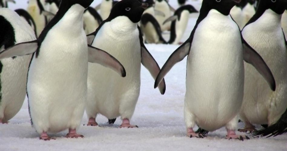 Copy-of-penguin-traffic-on-the-fast-ice-8-adjusted.jpg