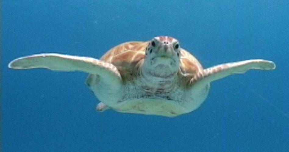 Green-Turtle-in-Barbados-28.-Photo-by-Paul-Mockler.2.JPG